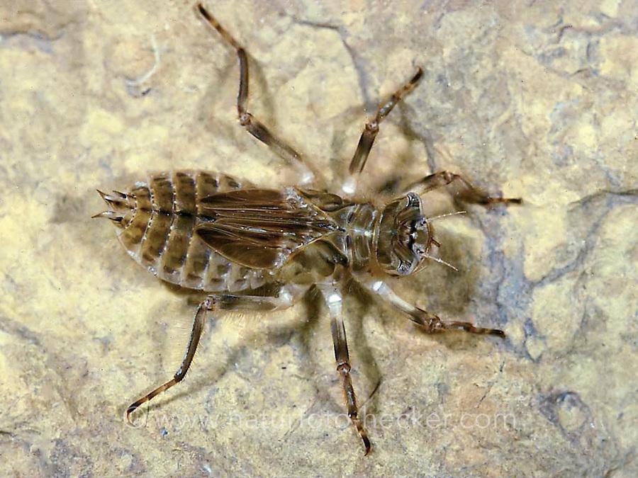 Plattbauch, Larve, Nymphe, Plattbauch-Libelle, Plattbauchlibelle, Libellula depressa, Broad-bodied Chaser, Broadbodied Chaser, broad bodied chaser, larva, nymph