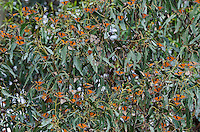 Western Monarch Butterflies (Danaus plexippus), coastal California.  Many have their wings out catching the sun to warm up.  Monarch butterflies cannot fly if their body temperature is less than 86 degrees.  We generally assume that monarchs can fly if it is above 60 degrees F, and above 50 degrees if it is sunny. The sun allows them to warm their flight muscles enough to fly.