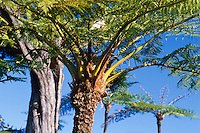 Baumfarn an der Nordküste, Madeira, Portugal