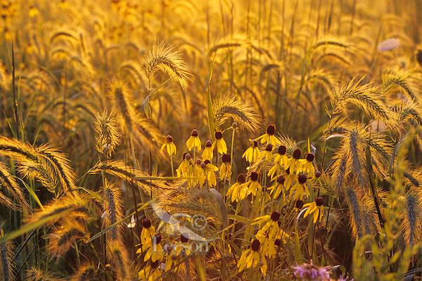 Prairie wildflowers, tallgrass prairie, Neal Smith NWR, Iowa.  Canada rye & drooping coneflower or yellow coneflower.