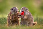 Ground squirrels enjoy tasty summer flowers by Thomas Hinsche