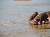 hippopotamus, Hippopotamus amphibius, with juvenile, Nile crocodile in South Luangwa National Park, Zambia