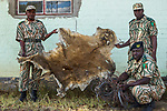 African Lion (Panthera leo) skin, along with snares used by poacher, confiscated by anti-poaching commanders, Kafue National Park, Zambia