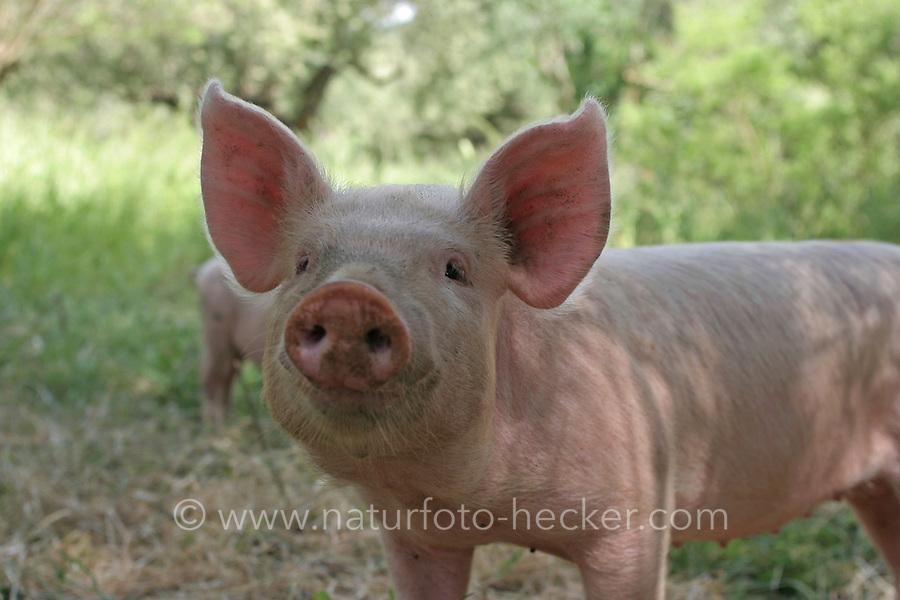 Hausschwein, Haus-Schwein, Schwein, Wild umherlaufende Schweine in Griechenland, Glückliche Schweine, hog, pig, pigs, swine