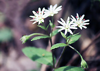 Star chickweed wildflowers beautiful in spring at the Smoky mountains national park - Free Nature Stock Image.