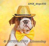 Xavier, ANIMALS, REALISTISCHE TIERE, ANIMALES REALISTICOS, dogs, photos+++++,SPCHDOGS992,#a#
