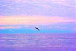 Alaska, Prince William Sound, salmon jumping, high Photoshop saturation,