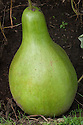 Bottle gourd or calabash (Lagenaria siceraria), Isole di Brissago Botanic Garden, Ticino, Switzerland, late October.