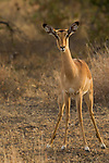 Impala (Aepyceros melampus) female, Kruger National Park, South Africa
