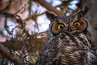 Great Horned Owl, Chugial AK.