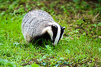 European badger, or Eurasian badger, Meles meles, foraging in forest, Normandy, France, Europe