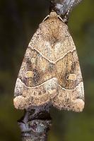 Trapezeule, Trapez-Eule, Cosmia trapezina, Calymnia trapezina, Dun-bar, Eulenfalter, Noctuidae