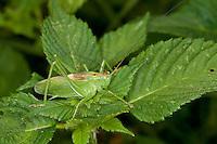 Zwitscherschrecke, Zwitscher-Heupferd, Männchen, Zwitscherheupferd, Zwitscher-Schrecke, Heupferd, Tettigonia cantans, twitching green bushcricket