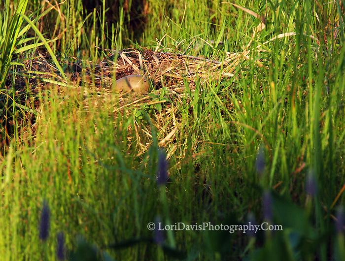 Loon Egg On Nest