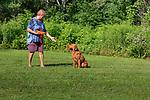 Fox red Labrador retriever - retrieving an orange training dummy.
