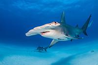 great hammerhead shark, Sphyrna mokarran, endangered species, Great Bahama Bank, Bimini, Bahamas, Caribbean Sea, Atlantic Ocean