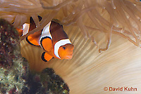 0321-1126  False Percula Clownfish (Ocellaris Clownfish), Amphiprion ocellaris, with Bulb-tipped Anemone, Entacmaea quadricolor  © David Kuhn/Dwight Kuhn Photography