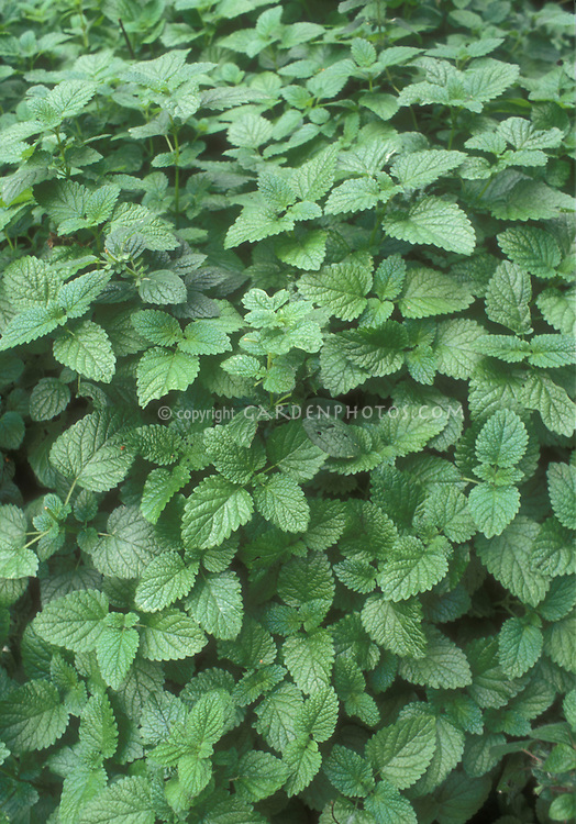 Lemon Balm herb growing showing leaves and foliage of Melissa officinalis