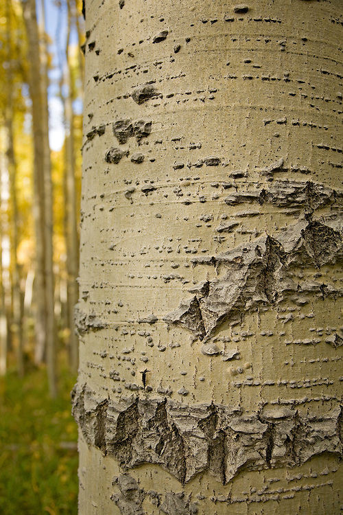 Close-up of Quaking aspen (Populus tremuloides) bark in the Kachina Peak Wilderness