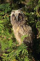 Waldohreule, Jungvogel, Ästling, Waldohr-Eule, Asio otus, long-eared owl