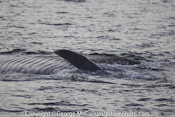 Blue whale Balaenoptera musculus feeding and showing extended throat pleats at sunset Spitzbergen Barents sea North east Atlantic
