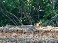 mugger crocodile, or marsh crocodile, Crocodylus palustris, basking in the sun in Wilpattu National Park, Sri Lanka