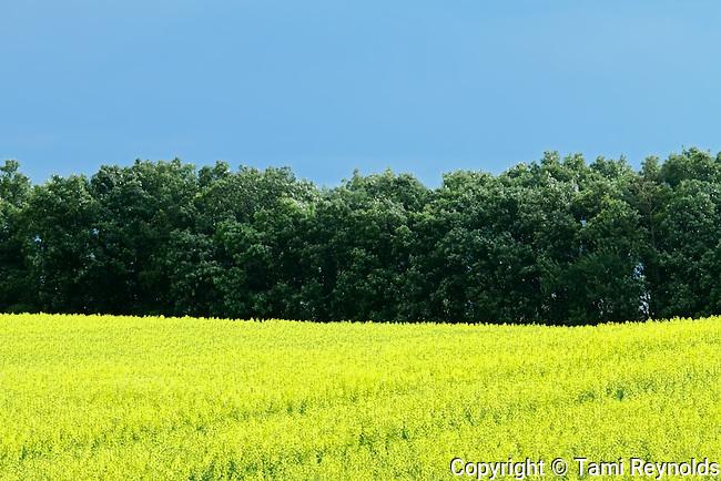 canola field under hot August sun