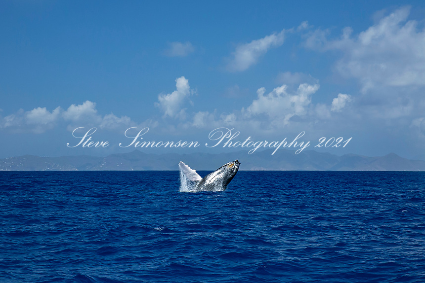 Humpback Whale breaching<br /> St. John Virgin Islands in the background<br /> March 5th 2021