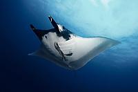 giant oceanic manta ray ( Mobula birostris, formerly Manta birostris ) on Koh Bon, Similan Islands, Andaman Sea, Thailand
