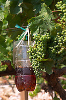 Zilavka grape variety. A plastic container trap hanging on a vine. Filled with a mix of vinegar and sweet fruit juice to attract insects moths flies. To monitor and capture insects. One of their best vineyards with very poor soil on a hilltop mountain near Citluk and Zitomislic. Vinarija Citluk winery in Citluk near Mostar, part of Hercegovina Vino, Mostar. Federation Bosne i Hercegovine. Bosnia Herzegovina, Europe.