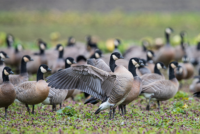 Cackling Goose (Branta hutchinsii). Columbia County, Oregon. February.