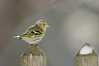 Eurasian Siskin (Carduelis spinus), female perched on wooden fence, Zug, Switzerland, December 2007