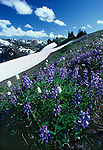 Wildflowers blooming is a sure sign of springs arrival, Olympic National Park, Washington