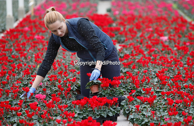 Foto: VidiPhoto<br /> <br /> HUISSEN – Personeel van potplantenkweker Bejafleur uit Huissen bij Arnhem komt woensdag handen tekort. De vraag naar cyclamen overstijgt op dit moment het aanbod. Met name is er nu al veel vraag naar de rode kerstkleur. Door de coronacrisis maken gezinnen het in huis gezellig. Met name rode bloemen en planten zijn daarom op dit moment populair, zoals de rode cyclamen van Bejafleur. De kweker uit Betuwe produceert jaarlijks ongeveer 1 miljoen cyclamen in diverse kleuren. De meeste examenplaren gaan naar Duitsland en Oost-Europa. Rond Kerst gaan de witte en rode variant voornamelijk naar Engeland. De prijzen zijn op dit moment goed.