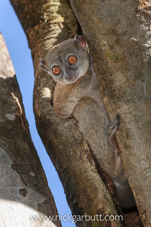 Tsiombikibo Sportive Lemur (Lepilemur ahmansoni). Tsiombikibo forest, north western Madagascar.