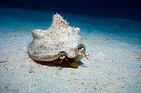 queen conch, Lobatus gigas or Strombus gigas, feeding, Turks and Caicos Islands, Caribbean Sea, Atlantic Ocean