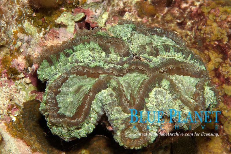 Ridged Cactus Coral, Mycetophyllia lamarckiana, gulf of Mexico, off Texas, united states