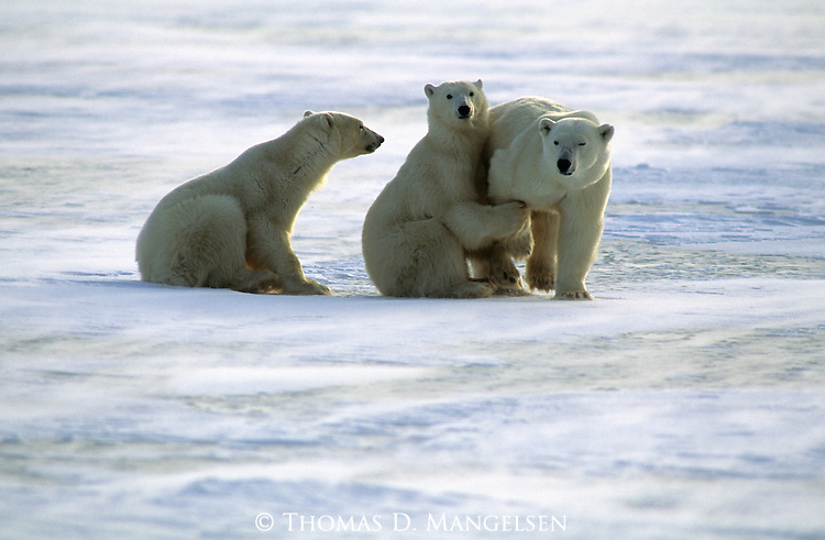 A polar bear cub holds onto its mother's leg in Canada.
