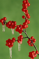 Branch of American holly, Ilex sp, frozen in ice
