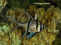 TP16-507z Banggai Cardinal Fish, Pterapogon kaudemi