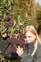 Schwarzer Holunder, Kind, Mädchen erntet reife Holunderbeeren, Fliederbeeren, Sambucus nigra, Common Elder, Elderberry, Sureau commun, Sureau noir
