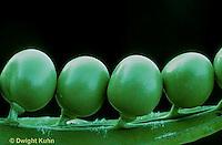 HS26-008t  Pea - peas inside of pod