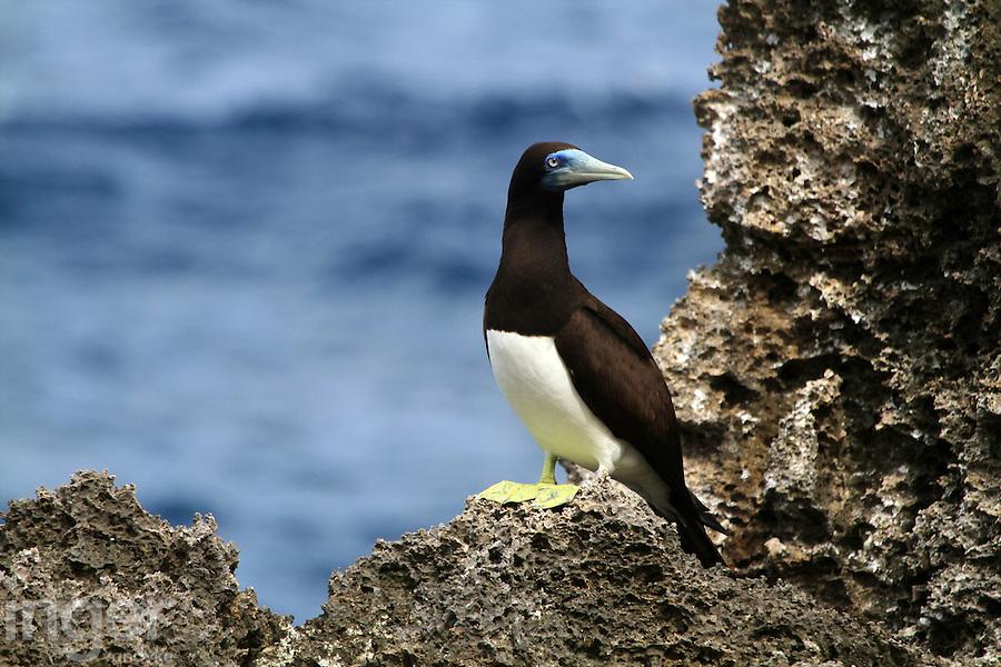 Brown Booby, Christmas Island, Indian Ocean