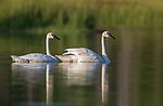 Trumpeter swans in northern Wisconsin.