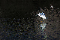 A Snowy egret with wings spread lands in the rippled waters of San Leandro Creek at Martin Luther King Jr. Regional Park in Oakland.  Image has been enhanced by digital processing.