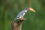 SEQUENCE 1 of 10.<br /> <br /> A young kingfisher swallows a large goldfish whole despite its prey being almost as large as it is.  The impressive meal was brought to the youngster by one of its parents as it sat on the branch of a dead tree.<br /> <br /> These photographs were taken by Chris Schlaf, at a lake in the garden of his home in the village of Romeo, Michigan, in the United States.  SEE OUR COPY FOR DETAILS.<br /> <br /> Please byline: Chris Schlaf/Solent News<br /> <br /> © Chris Schlaf/Solent News & Photo Agency<br /> UK +44 (0) 2380 458800