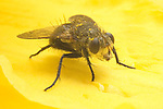 House fly close up, Muscidae, Muscinae, Musca domestica, pest insect on lily blossom with pollen