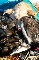 Two of Michelle Phillps dogs sleep at the Galena Checkpoint during the 2010 Iditarod