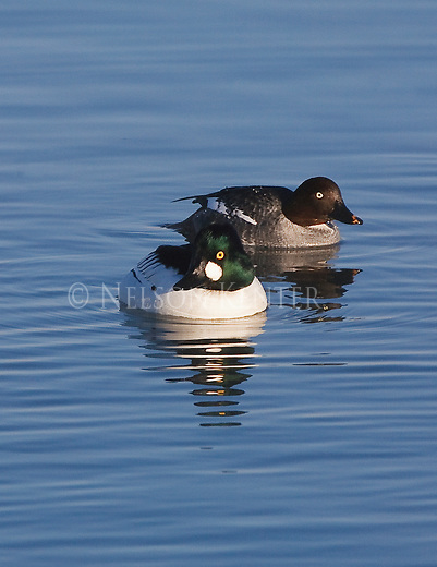 A drake and hen Goldeneye ducks on a pond in Montana
