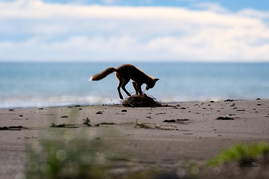 When the sun came out after a couple days of dreary rain, this Red Fox (Vulpes vulpes) vixen seemed eager to release her pent-up energy.  Here she pounces on a pile of sticks, a convenient plaything for her.  Lake Clark National Park, Alaska.